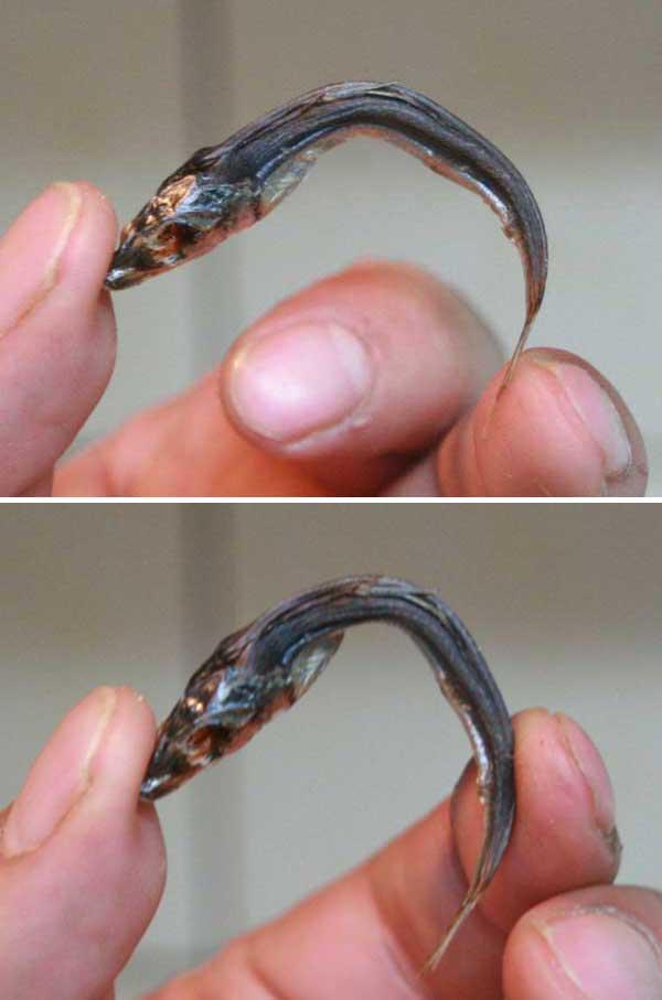 上乾ウルメイワシ(めざし)の焼き方_焼き加減をたしかめるために指で曲げます。